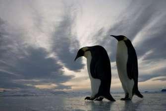 pareja-pinguinos-emperador-antartida